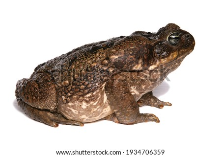 Giant Marine Toad isolated on a white background