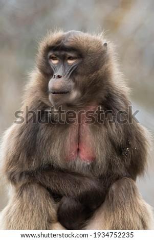 close-ups of a beautiful baboon