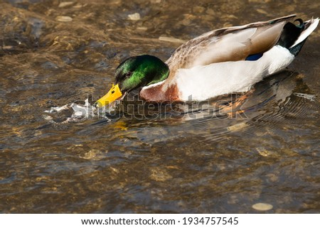 A male Mallard is trying to eat the carcass of a dead Frog. Taylor Creek Park, Toronto, Ontario, Canada. Royalty-Free Stock Photo #1934757545