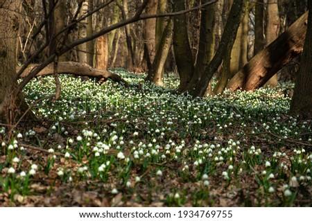 Blooming Spring Snowflake flowers in a spring forest. Spring Snowflake in the woods at springtime. Large amount of Spring Snowflake (Leucojum vernum) flowering plants  Royalty-Free Stock Photo #1934769755