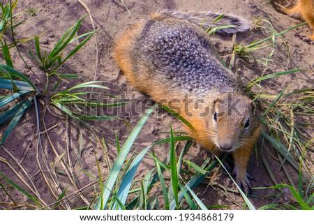 Ground squirrel Spermophilus or souslik (European ground squirrel) curious gopher in grass and sand. Spermophilus genus of ground squirrel - Russian souslik or suslik (gopher). Top view gopher rodent