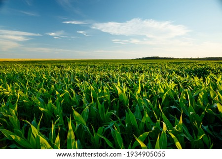 The agricultural land of a green corn farm with a perfect sky. Location place of Ukrainian agricultural region, Europe. Cultivated fields. Photo wallpaper. Minimalistic landscape. Beauty of earth. Royalty-Free Stock Photo #1934905055