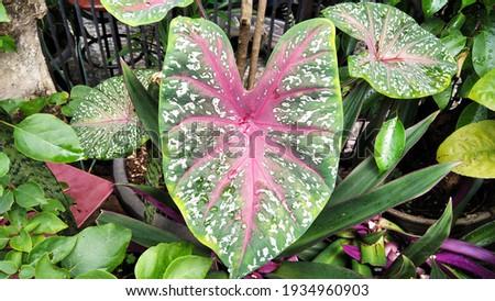 Beautiful Taro High Res Stock Images
