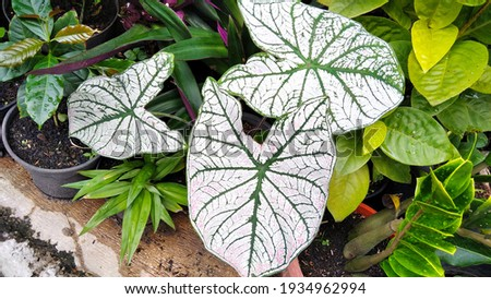 White Alocasia High Res Stock Images