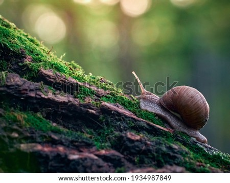 A slow grape snail crawls up the bark of a tree overgrown with moss. Beautiful bokeh in the background. Royalty-Free Stock Photo #1934987849