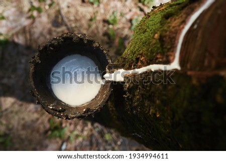 Collecting natural latex from rubber tree in plantation forest. Agriculture in Sri Lanka. Royalty-Free Stock Photo #1934994611