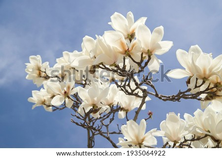 Yulan magnolia flowers are in bloom under the blue sky. Scientific name is Magnolia denudata.