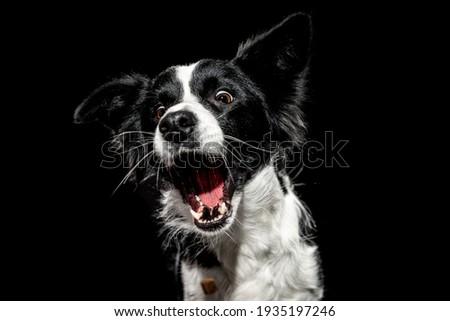 Black White Border Collie in studio