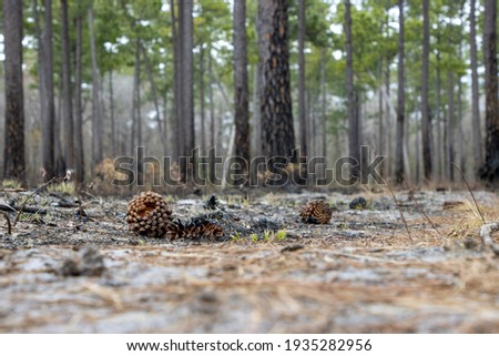 Burned pine cones on an empty forest floor after a controlled burn cleared the land of vegetation. Royalty-Free Stock Photo #1935282956