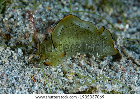 Sea Slug Elysia marginata Underwater Photography Royalty-Free Stock Photo #1935337069