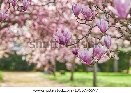 Close-up of the flowers of a Chinese magnolia tree.