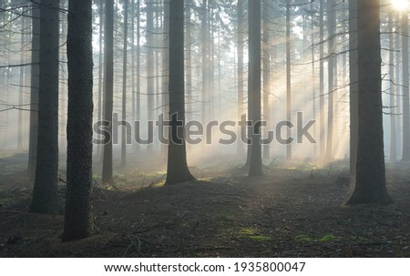Panoramic view of the majestic evergreen forest in a morning fog. Mighty pine tree silhouettes. Atmospheric dreamlike summer landscape. Sun rays, mysterious golden light. Nature, fantasy, fairytale Royalty-Free Stock Photo #1935800047