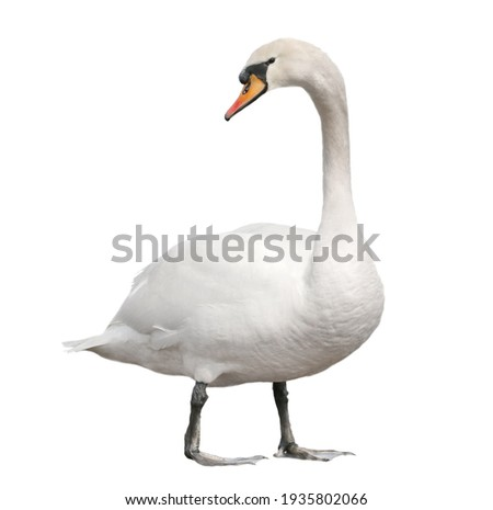 Mute swan, cygnus olor isolated on white background, clipping path Royalty-Free Stock Photo #1935802066