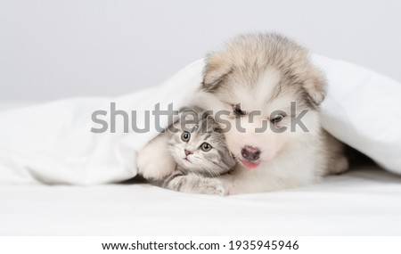 Alaskan malamute puppy hugs gray kitten under warm blanket on a bed at home. Empty space for text Royalty-Free Stock Photo #1935945946