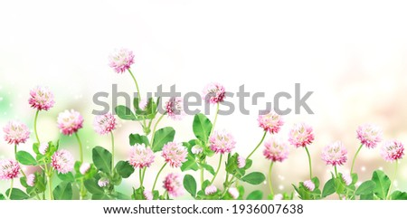 Wild red clover (Trifolium pratense) on sunny beautiful nature spring background. Summer scene with clover flower of pink color. Horizontal spring banner with flowers. Copy space for text