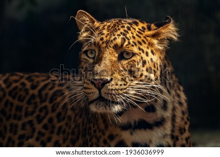 Close-up of a Tiger Jaguar with distinct spots ... Nice and cool picture
