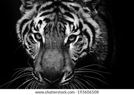 tiger #193606508