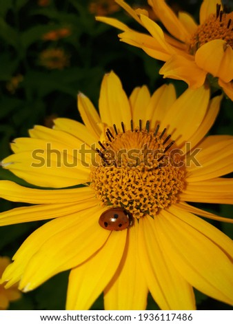 A ladybug flew in and sat on a yellow flower to smell it.
