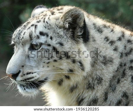 A very beautiful white leopard picture