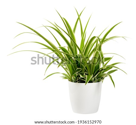 Sword-like ornamental leaves of a potted Chlorophytum laxum plant with green and white variegated margins in a close up side view isolated on white Royalty-Free Stock Photo #1936152970