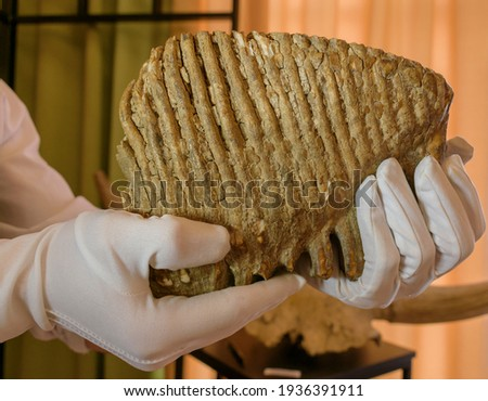 A numb mammoth tooth in the hands of a man. White gloves. Paleontology science concept. Royalty-Free Stock Photo #1936391911