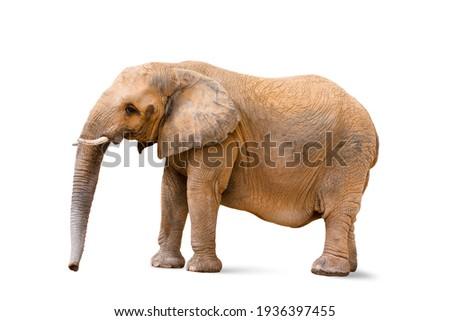 Closeup to female elephant animal isolated on white background Royalty-Free Stock Photo #1936397455