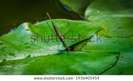 Ranatra linearis -  Water Stick Insect sits on the green wet leaf of water lily. Close-up of Ranatra linearis - aquatic bug from Nepidae family in natural habitat in garden pond.  Royalty-Free Stock Photo #1936401454