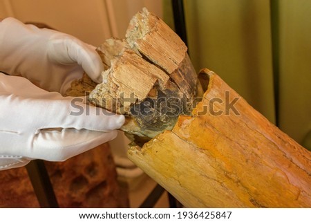 A man wearing white gloves inserts the distal end into a mammoth tusk. Royalty-Free Stock Photo #1936425847