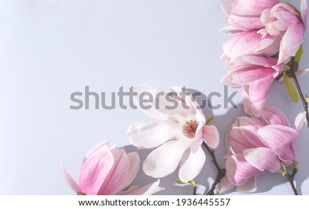 Beautiful pink magnolia flowers on the soft blue background, bright sunlight. Top view, flat lay, copy space. Spring minimalistic floral concept