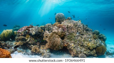 A beautiful under water reef in the Indian Ocean with colorful fish and a turtle passing by