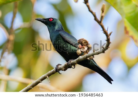 Eating bird. The Asian glossy starling (Aplonis panayensis) is a species of starling in the family Sturnidae. It is found in Bangladesh, Brunei, India, Indonesia, Malaysia, Myanmar, the Philippines. Royalty-Free Stock Photo #1936485463