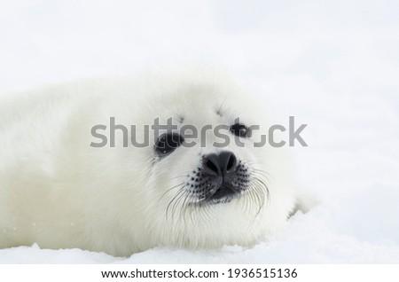 Newborn seal. Squirrel seal. White fluffy harp seal  Royalty-Free Stock Photo #1936515136