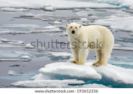 polar bear on melting ice floe in arctic sea Royalty-Free Stock Photo #193652336