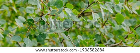 Populus tremuloides aspen green leaves in summer, banner. Nature background with Populus trembling aspens or quaking aspen tree, close up. Many popple leafs Royalty-Free Stock Photo #1936582684