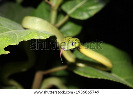 A beautiful green snake sticks out its tongue on a green leafy tree, a snake on a large leaf and against the backdrop of a dark night Royalty-Free Stock Photo #1936865749