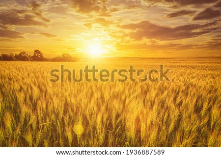 Sunset or sunrise on a rye field with golden ears and a dramatic cloudy sky. Royalty-Free Stock Photo #1936887589