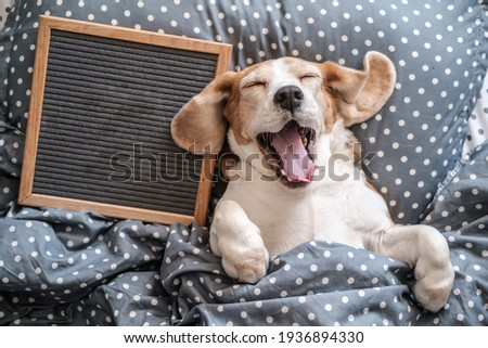 cute dog breed Beagle funny sleeping on the pillow and yawning. next to it is an empty felt writing board. free space for text Royalty-Free Stock Photo #1936894330