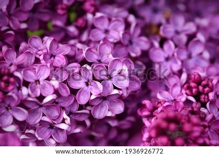 Dark purple common lilac blossom beautiful flowers Royalty-Free Stock Photo #1936926772