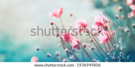 Gently pink flowers of anemones outdoors in summer spring close-up on turquoise background with soft selective focus. Delicate dreamy image of beauty of nature. Royalty-Free Stock Photo #1936949806