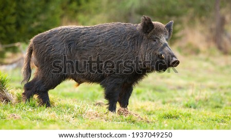 Dangerous wild boar with long tusks standing on green grass in spring forest Royalty-Free Stock Photo #1937049250