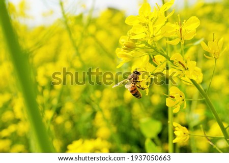 Bees collecting nectar in a yellow rape field Royalty-Free Stock Photo #1937050663