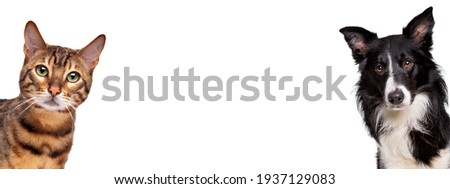portrait of a tabby cat and a border collie sheepdog looking at the camera in front of a white background Royalty-Free Stock Photo #1937129083