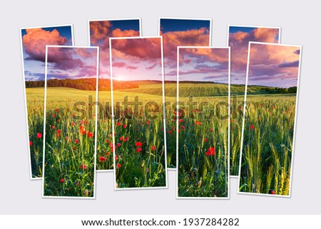 Isolated eight frames collage of picture of blooming poppys among the field of wheat. Colorful sunrise in Ukrainian countryside. Mock-up of modular photo.