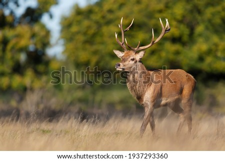 Close up of a red deer stag in autumn, UK. Royalty-Free Stock Photo #1937293360