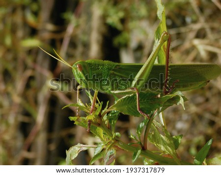 Grasshopper is a species of chewing herbivorous insects. Royalty-Free Stock Photo #1937317879
