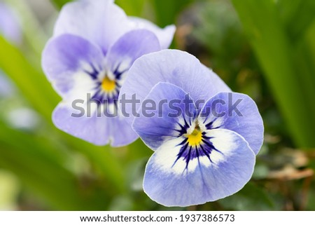 Close up of blue pansy flowers in bloom