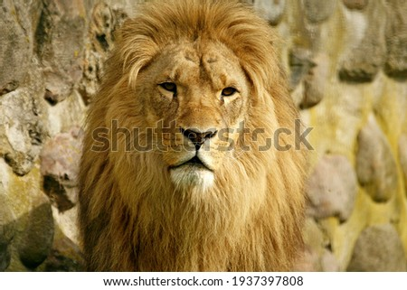 portrait of a male lion Royalty-Free Stock Photo #1937397808