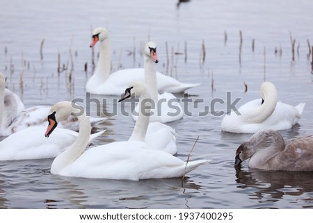 White swan flock in spring water. Swans in water. White swans. Beautiful white swans floating on the water. swans in search of food. selective focus. Royalty-Free Stock Photo #1937400295