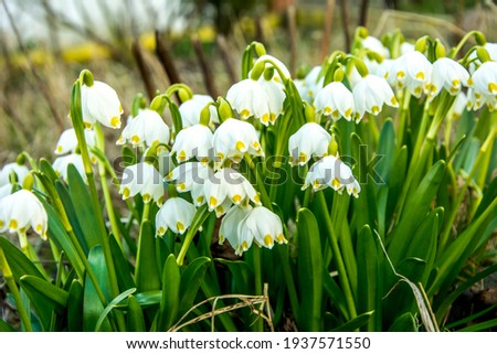 White Summer Snowflake flowers (Leucojum aestivum) with green spots on the petals, bell-shaped flowers with fresh spring green leaves. Royalty-Free Stock Photo #1937571550
