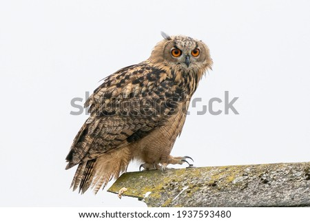 A Eagle Owl. Sit on the ridge of a roof. Bird looks back, the red eyes stare at you. White background place for own text
